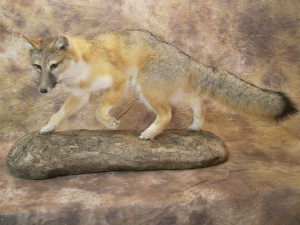 swift kit fox mount