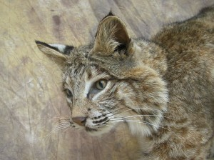 bobcat face mount