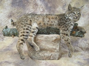 bobcat taxidermy on a limb with rock