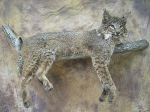 bobcat on a limb taxidermy