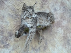 custom bobcat mount