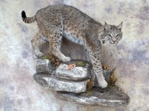 bobcat taxidermy mount coming down a rock