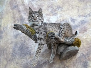 bobcat laying on a limb mount