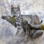 lifesize bobcat on a limb taxidermy mount