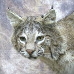 oklahoma bobcat taxidermy mount close up