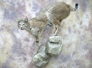 oklahoma bobcat taxidermy mount