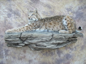 bobcat mount on a rock ledge