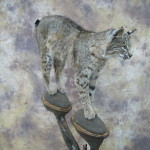 kansas bobcat mount 2