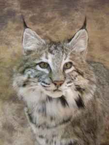 colorado bobcat mount close up