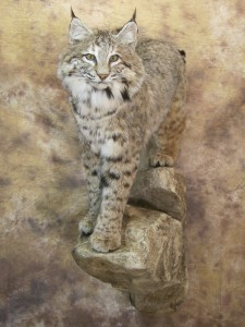 colorado bobcat mount
