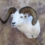 dallsheep1