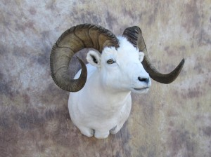 dallsheep2