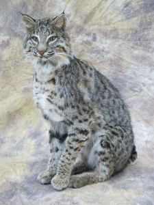 sitting bobcat mount