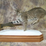 bobcat chasing a fox squirrel mount