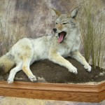 yawning coyote mount