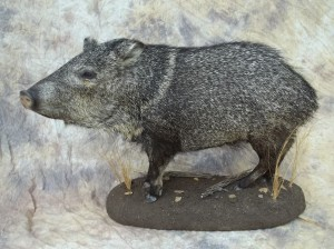 javelina taxidermy