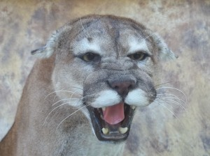 snarling cougar mount close up