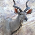Greater Kudu Taxidermy