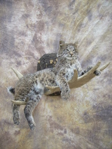 bobcat on moose antler taxidermy