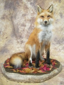 sitting red fox taxidermy