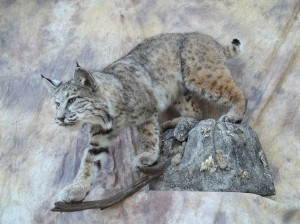 big wyoming bobcat taxidermy mount