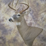 9 point early season kansas whitetail deer mount