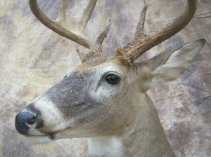 close up early season kansas whitetail deer taxidermy