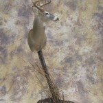 early season kansas whitetail taxidermy pedestal