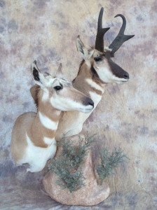 Wyoming doe Idaho buck antelope pedestal mount taxidermy