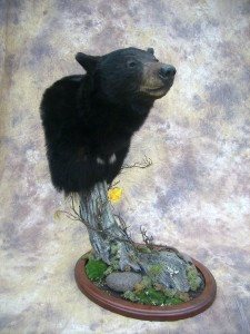 Idaho black bear shoulder pedestal