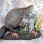 beaver taxidermy lifesize mount