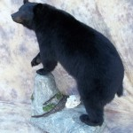 lifesize monster arkansas blackbear taxidermy mount