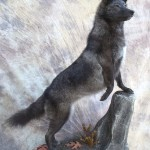 lifesize black coyote taxidermy mount