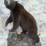 lifesize chocolate black bear taxidermy mount