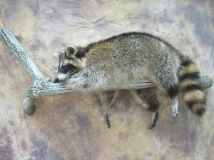raccoon lifesize mount