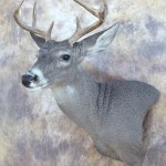 arizona couse deer wall pedestal mount