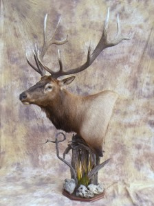 Wyoming elk pedestal mount taxidermy