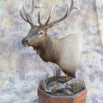 Colorado 5x5 elk full pedestal taxidermy mount