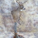 bow killed big kansas whitetail deer taxidermy full pedestal