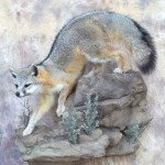 arizona grey fox mount