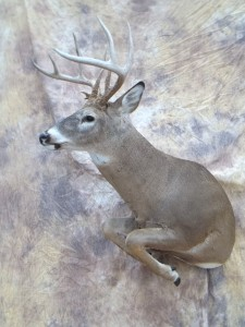 half lifesize whitetail deer taxidermy mount