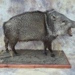 new mexico javelina taxidermy lifesize mount