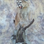snarling mountain lion taxidermy