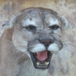 snarling mountain lion mount close up