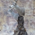 double pedestal mexico muley and couse deer mount side view