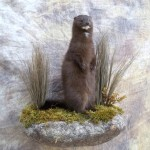 lifesize mink mount