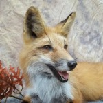 close up panting red fox taxidermy