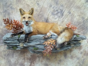 panting redfox mount on a rock ledge