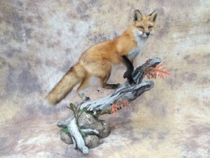 red fox mount going up a log