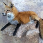 red fox taxidermy mount on a rock